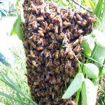 Sciame di api da miele, Comunita MartaMaria