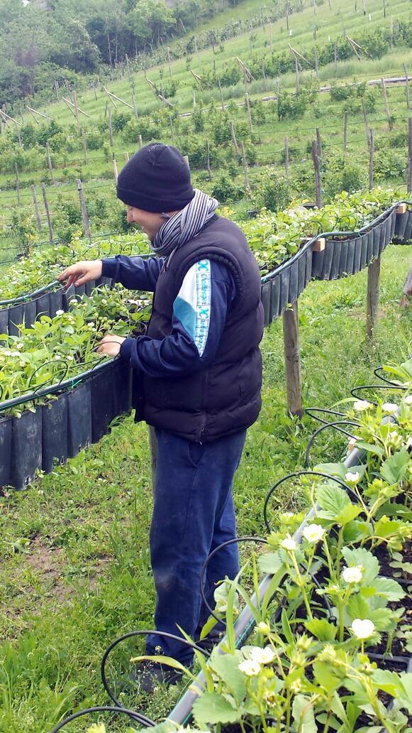 Attivit comunit martamaria coop sociale for Fragole piante vendita
