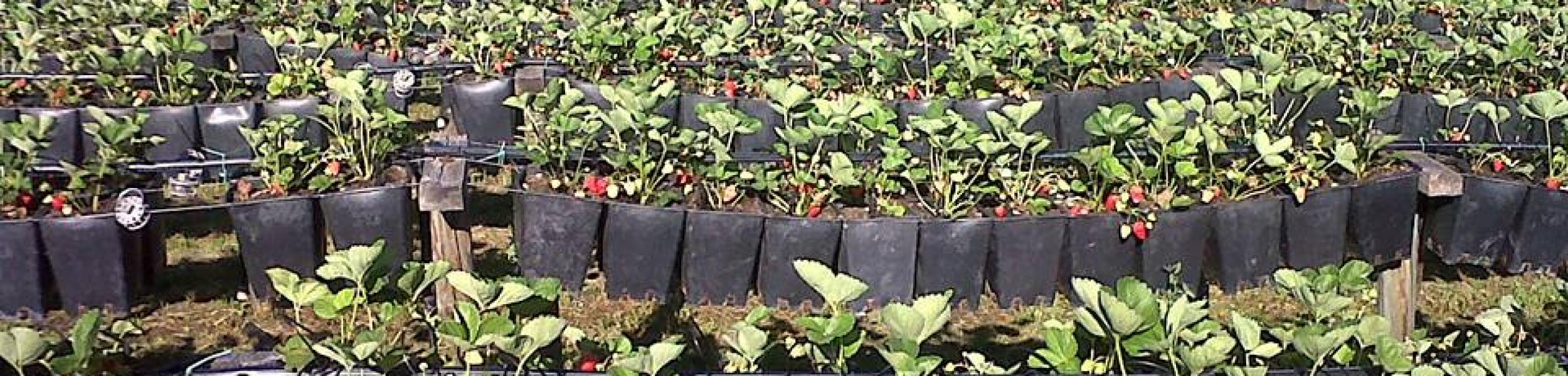 Comunità Martamaria, coltivazione di fragole biologiche